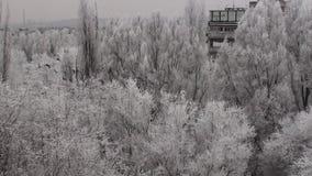 Vinterflock av fåglar som flyger över de vita frostträden stock video