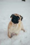Vinterfoto av en söt liten mops Royaltyfria Foton