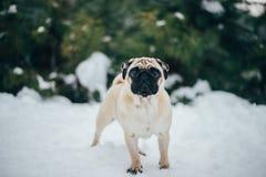 Vinterfoto av en söt liten mops arkivfoton