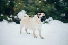 Vinterfoto av en söt liten mops Arkivfoto
