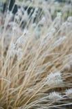 Vinterfrost på dekorativt gräs för främre gård arkivbilder