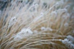 Vinterfrost på dekorativt gräs för främre gård royaltyfria bilder