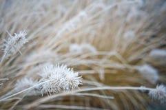 Vinterfrost på dekorativt gräs för främre gård arkivbild