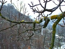 Vinterfrost på träd Arkivbild