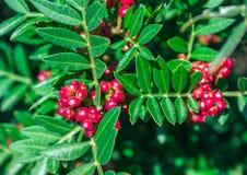 Vintergrön buske med röda bär Pistacialentiscus Fotografering för Bildbyråer