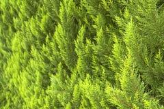 Vintergrön closeup för thujaträdfilialer Bakgrund och texturerar Royaltyfri Bild