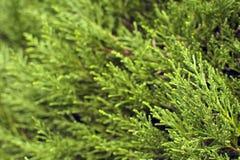Vintergrön closeup för thujaträdfilialer Bakgrund och texturerar Royaltyfri Fotografi
