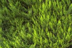 Vintergrön closeup för thujaträdfilialer Bakgrund och texturerar Arkivfoto