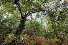 Vintergrön ek i skog Arkivbild
