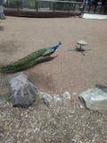 Vintergrön fågelpåfågelvän fotografering för bildbyråer