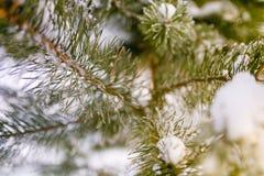 Vintergrön filial som täckas i snömakro Selektivt fokusera fotografering för bildbyråer