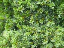 Vintergrön grangran, visare - closeupbakgrund royaltyfri fotografi