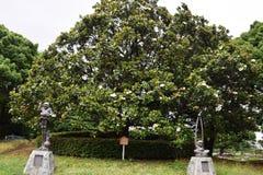 Vintergrön magnolia Royaltyfria Foton
