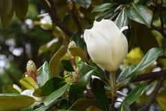 Vintergrön magnolia Arkivfoto
