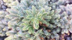 Vintergrön makro Royaltyfria Bilder