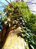 Vintergrön murgröna Arkivbilder