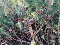 Vintergrön ormbunke med muttrar royaltyfria foton