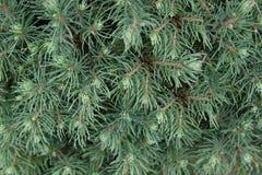 Vintergrön prydlig bakgrund för textur för smaragdgräsplan Royaltyfri Bild