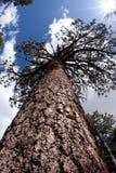 vintergrön seende tree upp Arkivfoto