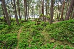 Vintergrön skog Royaltyfria Bilder