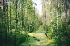 vintergrön skog Royaltyfri Fotografi