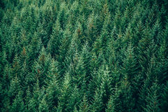 Vintergrön skog - bästa sikt Arkivfoton