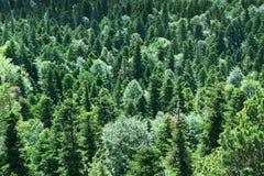 Vintergrön skog: granar granar och att sörja träd arkivbilder