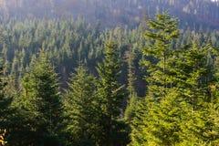 Vintergrön skog i Carpathian berg, Ukraina Lopp ecotourism Arkivfoto