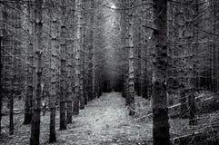 Vintergrön skog med att försvinna punkt i svartvitt Arkivfoto