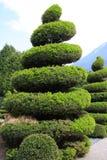 vintergrön stor topiary Arkivfoton