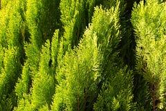 Vintergrön thujalövverkbakgrund Royaltyfria Foton