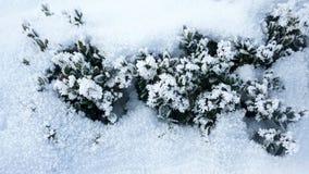 Vintergrön växt under snö på den frostiga dagen royaltyfria bilder