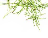 vintergrön visartree royaltyfri bild