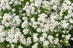 Vintergröna blommor för candytuft (Iberissempervirens) royaltyfria foton