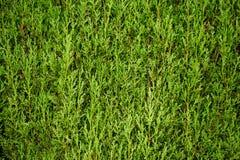 Vintergröna cypressleaves texturerade grön bakgrund Royaltyfri Bild