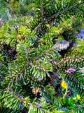 vintergröna granfilialer Arkivbild