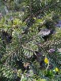 vintergröna granfilialer Arkivfoton