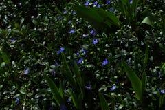 Vintergröna på grönt gräs fotografering för bildbyråer