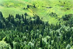Vintergröna skoggranar, granar och att sörja träd arkivbilder