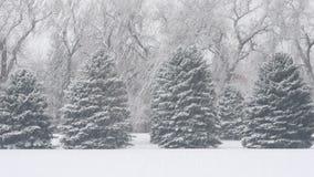Vintergröna träd i snöstorm