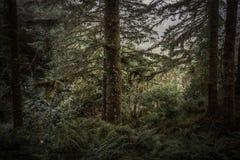 Vintergröna träd och ormbunkar i disig kulle Royaltyfria Bilder