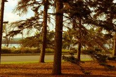 Vintergröna träd på solnedgången royaltyfri foto