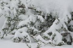 Vintergröna trädlövruskor laden med tung ny snö Royaltyfri Bild
