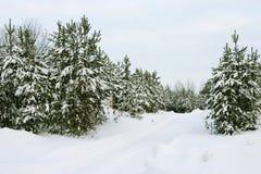 vintergröna trees Arkivbild