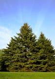 vintergröna trees Arkivbilder