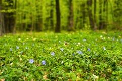 Vintergrönablomma i skogen i den soliga dagen Vincaminderårig, lesser vintergröna eller dvärgvintergröna royaltyfria bilder