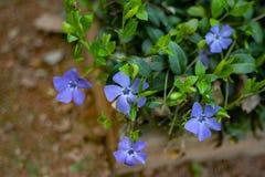Vintergrönablommor också som är bekanta som bigleafvintergröna, stor vintergröna, den viktiga större vintergröna eller vincaen arkivbilder