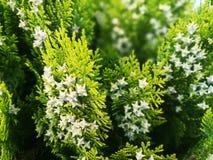 Vintergrönt dekorativt granträd blomning royaltyfri foto