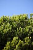 Vintergrönt dunigt granträd royaltyfri foto