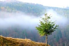Vintergrönt granträd Arkivbild